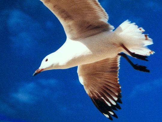 Nice gull